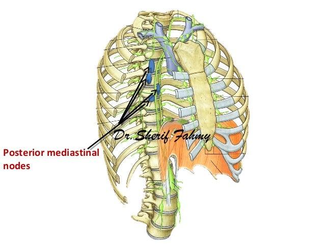 Mediastinum 2 Anatomy Of The Thorax