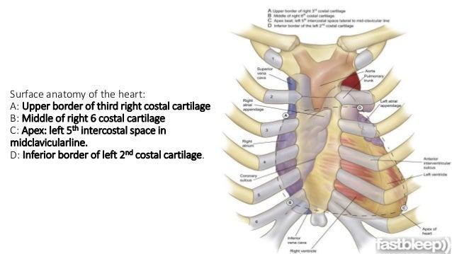 Mediastinum and heart position