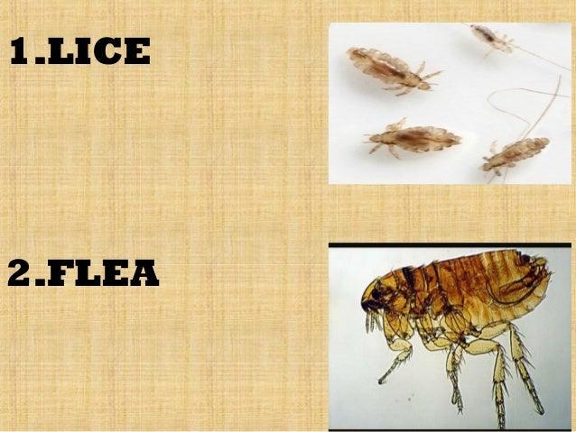 General Pest Control | Ridpest |Flea Vs Lice