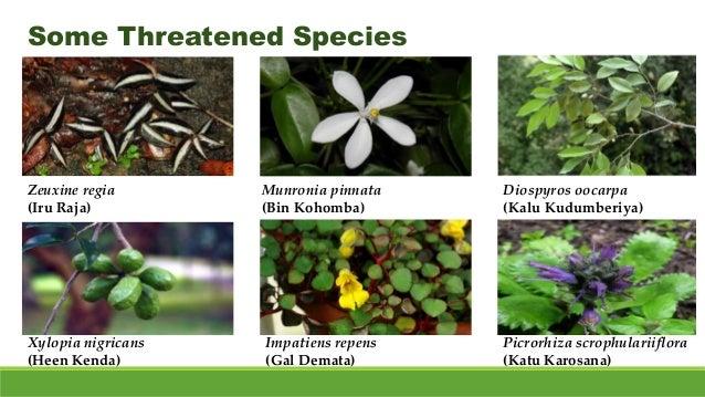 Some Threatened Species Zeuxine regia (Iru Raja) Munronia pinnata (Bin Kohomba) Diospyros oocarpa (Kalu Kudumberiya) Xylop...