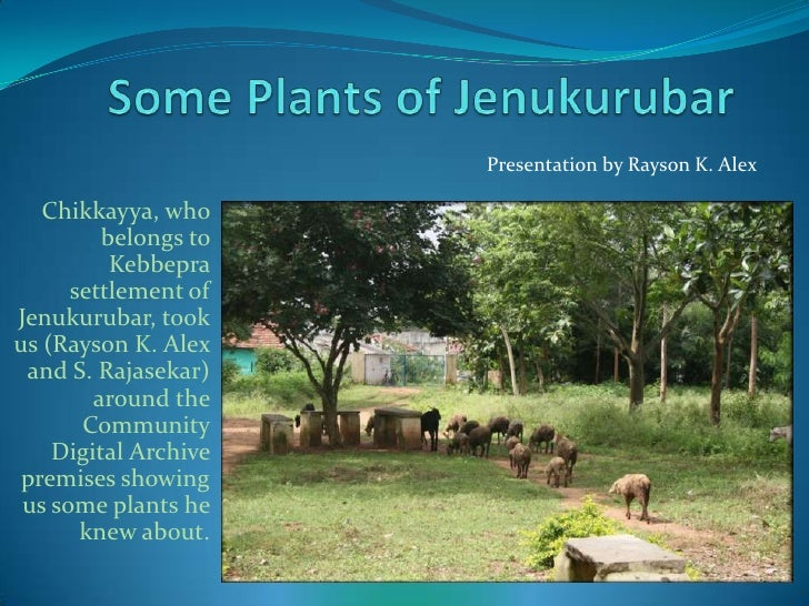 Some Plants of Jenukurubar<br />Presentation by Rayson K. Alex<br />Chikkayya, who belongs to Kebbepra settlement of Jenuk...