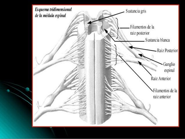 Medula anatomia