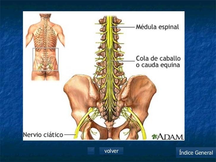 Hermosa Anatomía Cola De Caballo Embellecimiento - Anatomía de Las ...