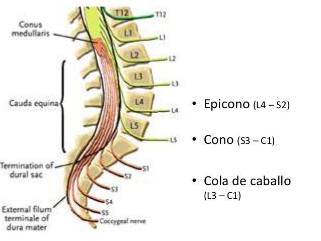 Qué es la cola de caballo en anatomía? | Tratamientoictus ...