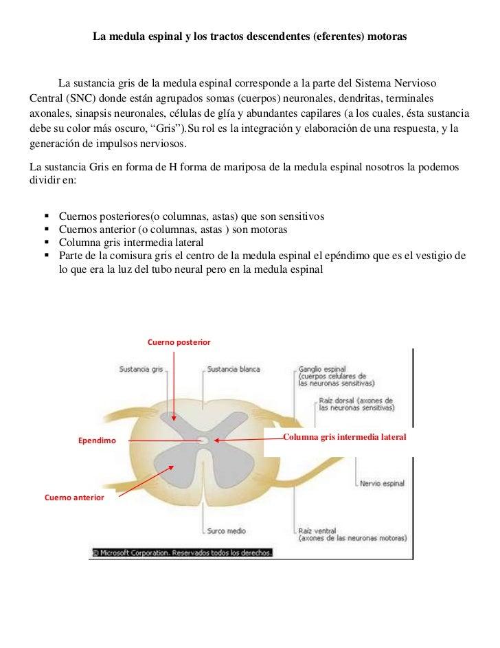 La medula espinal y los tractos descendentes (eferentes) motoras<br />La sustancia gris de la medula espinal corresponde a...