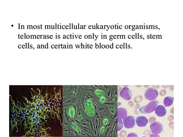 MECHANISM OF TELOMERASE ACTIONMECHANISM OF TELOMERASE ACTION TetrahymenaTetrahymena Model organism used in telomere & telo...