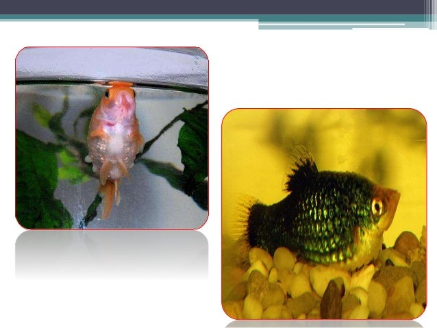 Bacterial disease of fishes for Kanamycin for fish