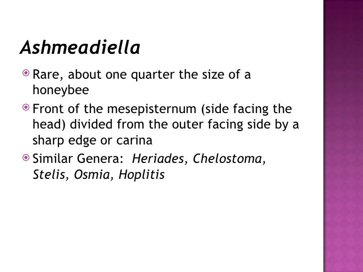 Ashmeadiella <ul><li>Rare, about one quarter the size of a honeybee </li></ul><ul><li>Front of the mesepisternum (side fac...