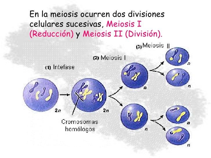 Meiosis Slide 3