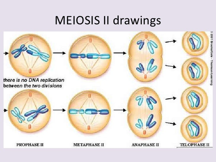 how are mitosis and meiosis alike