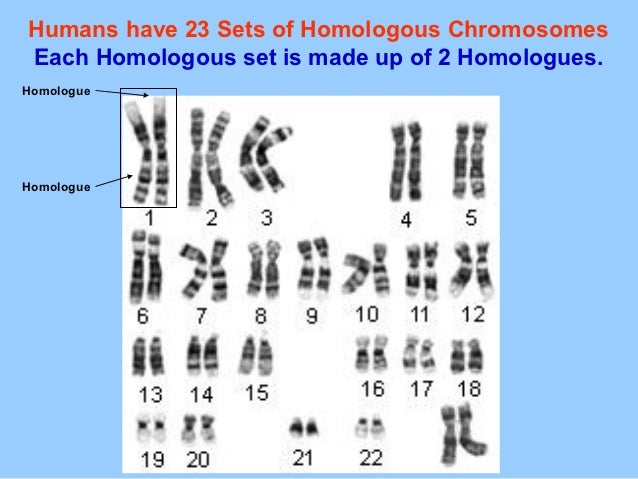 Humans have 23 Sets of Homologous ChromosomesEach Homologous set is made up of 2 Homologues.HomologueHomologue