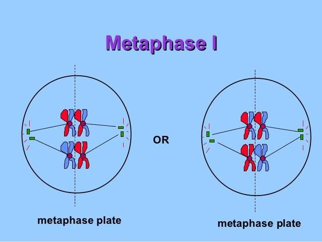 Metaphase I                  ORmetaphase plate        metaphase plate