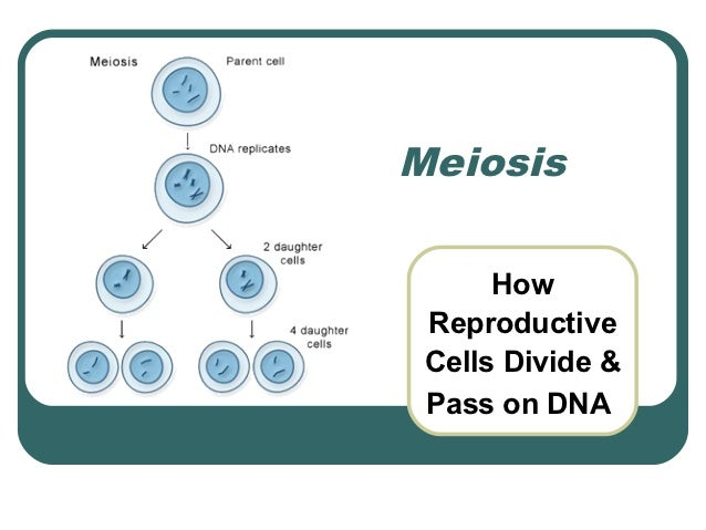Meiosis      How Reproductive Cells Divide & Pass on DNA
