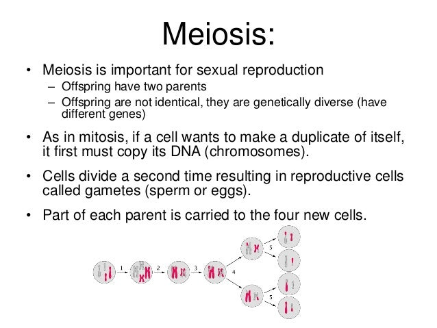 Why is meiosis important for sexual reproduction images 844