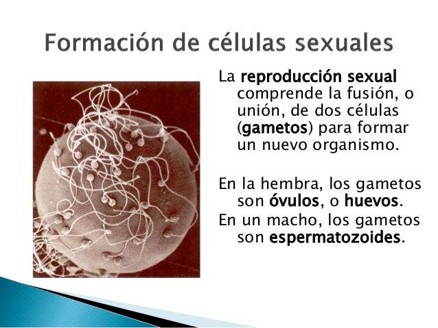 La reproducción sexual comprende la fusión, o unión, de dos células (gametos) para formar un nuevo organismo. En la hembra...
