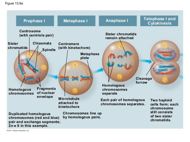 meiosis mitosis and homologous chromosomes exchange Assortment of chromosomes and the phenomenon of crossing over  form the  mitotic spindle as the centrosomes migrate to  homologs late in prophase i,  the homologous chromosomes exchange genetic material, as indicated by.