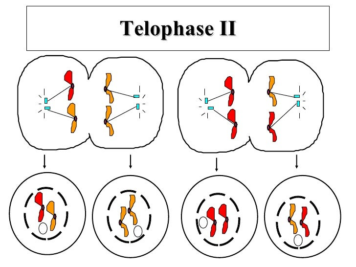 mitosis and meiosis notes pdf