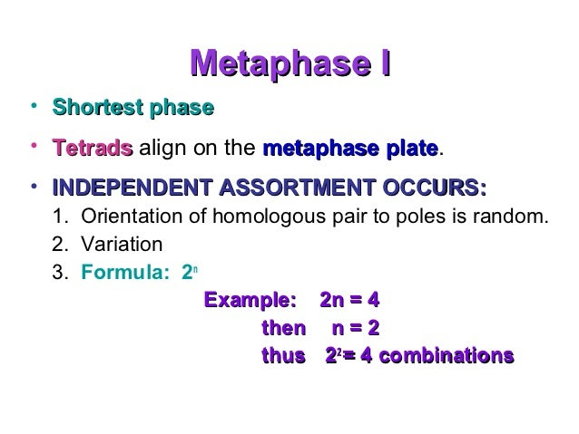 Metaphase 1 Independent Assortment