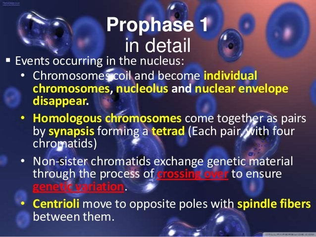 Anaphase 1 Spindle fibers contact. Homologous chromosomes separate and move to opposite poles.  Sister chromatids remain a...