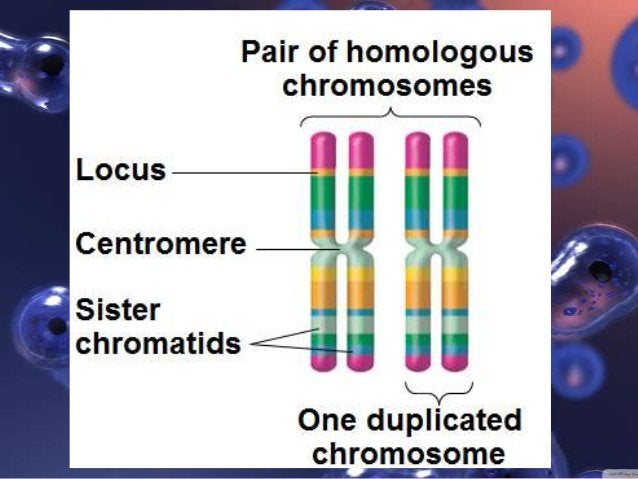 Why do we need Meiosis? It is the fundamental basis of sexual reproduction Two haploid (n) gametes are brought together ...