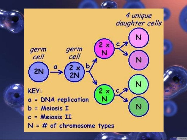Summary of the Meiotic process