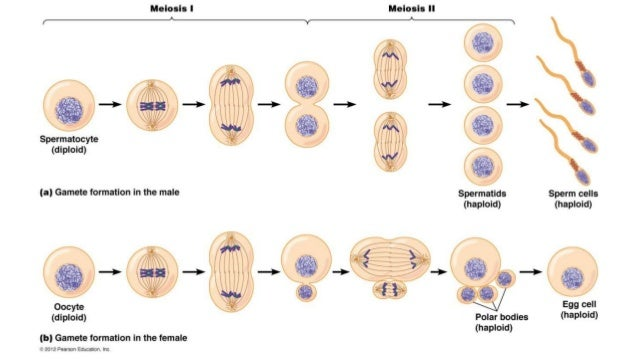 Meiosis and the male reproductive system