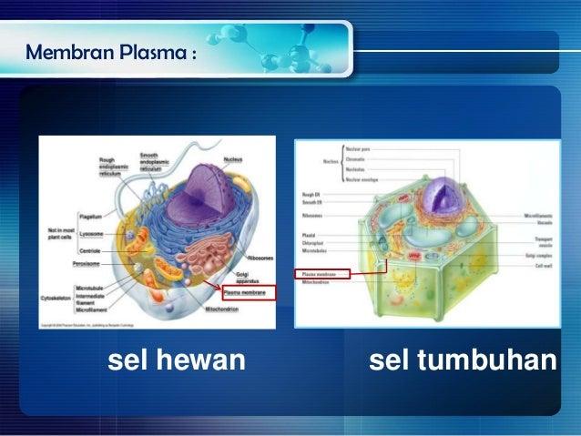Membran sel dan permeabilitas membran plasma sel hewan sel tumbuhan ccuart Choice Image