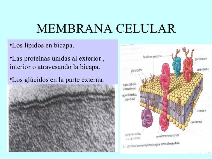 Funciones de las membranas biológicas