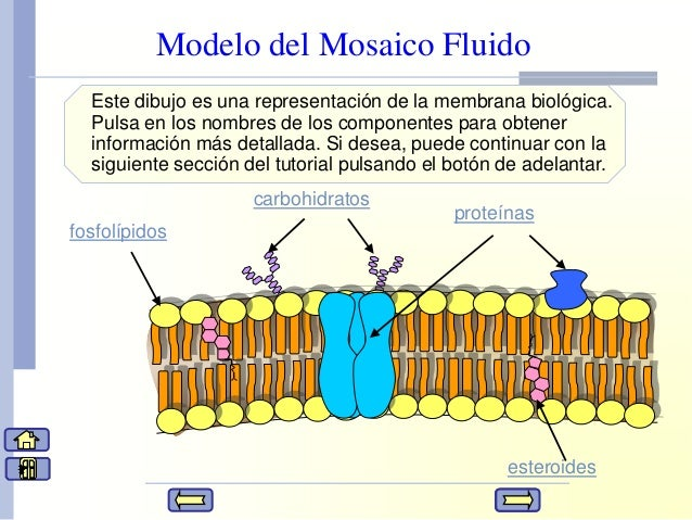 funcion de los esteroides en el organismo