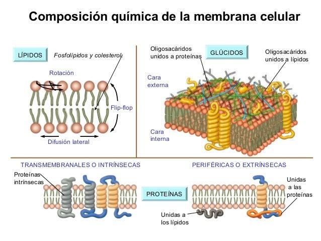 fosfolipidos glucolipidos y esteroides