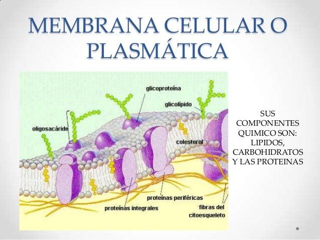 Membrana celular o plasm tica 2012 for Pared y membrana celular