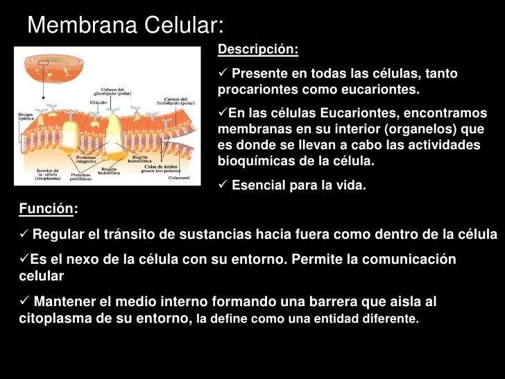 Membrana celular y transporte Slide 2