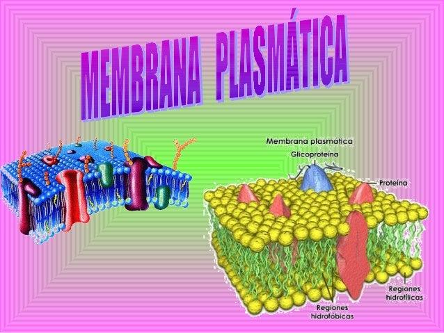 Proteção mecânica das células ,apesar dessa função ser realizada de forma mais efetiva pela parede celular.