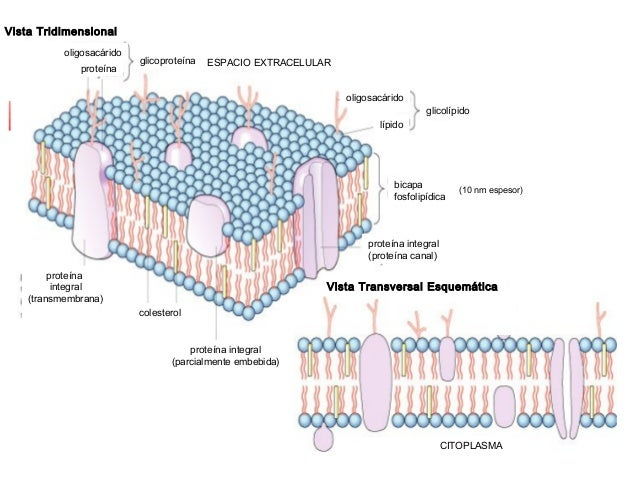 lipidos esteroides funcion
