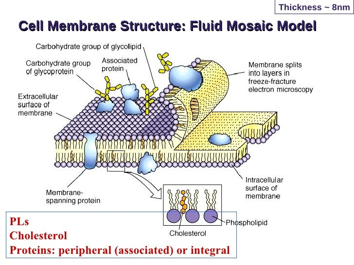 Cell Membrane Structure Cholesterol Kreb S Cycle