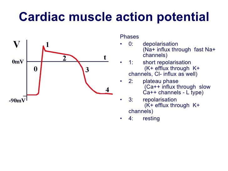 Membrane potentials cardiac muscle action potential ccuart Image collections