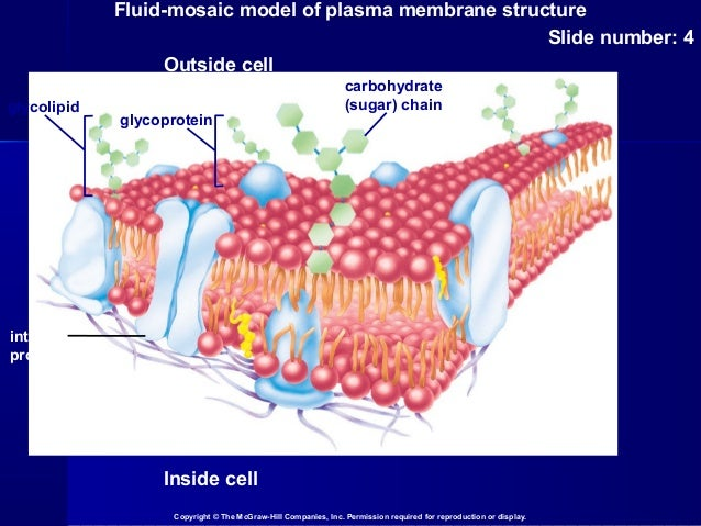 fluid mosaic model of plasma membrane Cell question 1983: l peterson/echs describe the fluid-mosaic model of a plasma membranediscuss the role of the membrane in the movement of materials through by each of the following processes a active transport b.