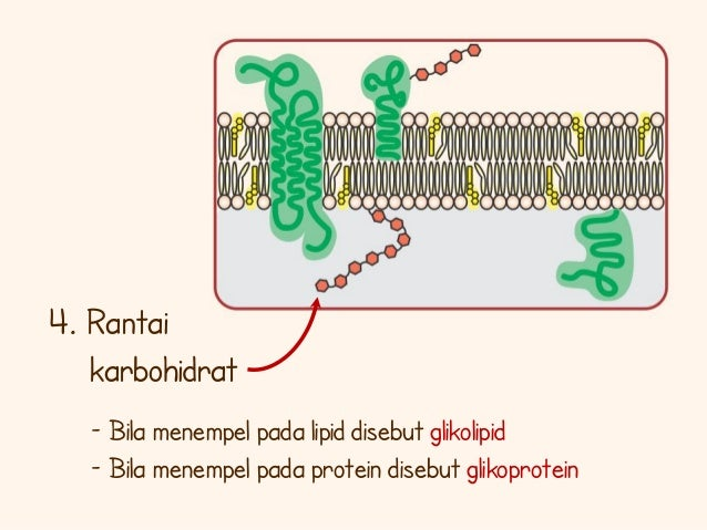 Membran sel rantai karbohidrat 19 ccuart Choice Image