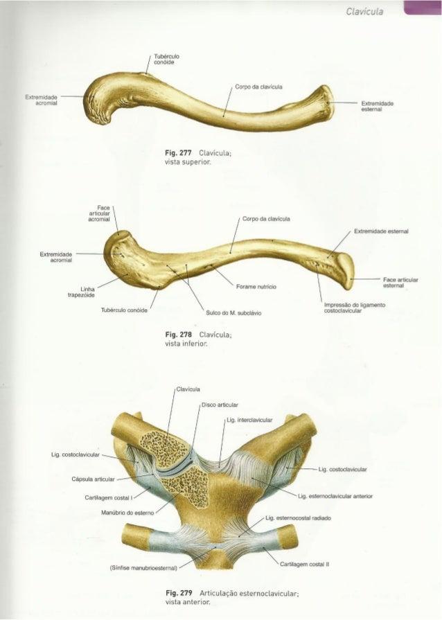 Digitalização de Membro superior e vértebras Sobotta