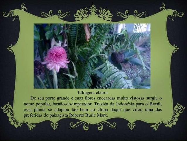 Etlingera elatior  De seu porte grande e suas flores enceradas muito vistosas surgiu o  nome popular, bastão-do-imperador....