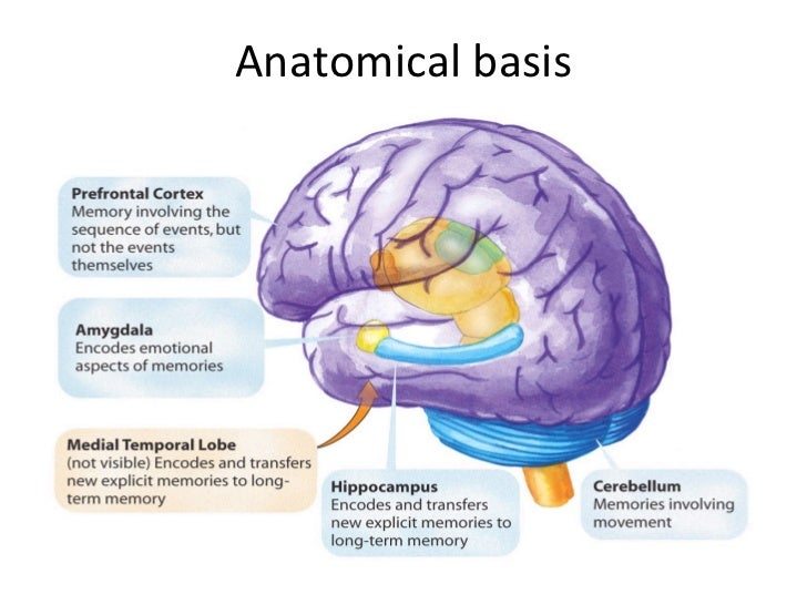 visual cortex involvement in memory The cerebral cortex, or neocortex, in the human brain includes motor, sensory, and visual maps and areas for language, executive functions, emotional processing, attention, and working.