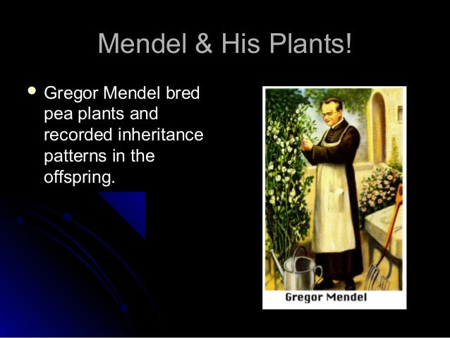 Mendel & His Plants! Gregor Mendel bred pea plants and recorded inheritance patterns in the offspring.