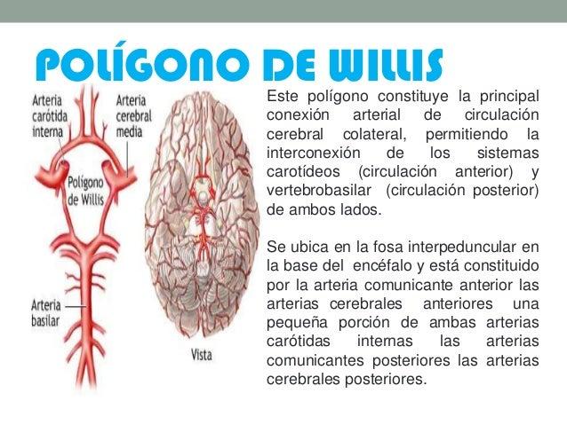 POLÍGONO DE WILLISEste polígono constituye la principal conexión arterial de circulación cerebral colateral, permitiendo l...