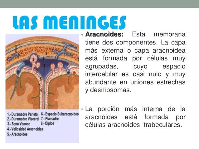 LAS MENINGES• Aracnoides: Esta membrana tiene dos componentes. La capa más externa o capa aracnoidea está formada por célu...