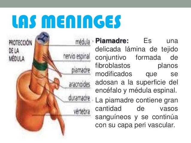 LAS MENINGES • Piamadre: Es una delicada lámina de tejido conjuntivo formada de fibroblastos planos modificados que se ado...