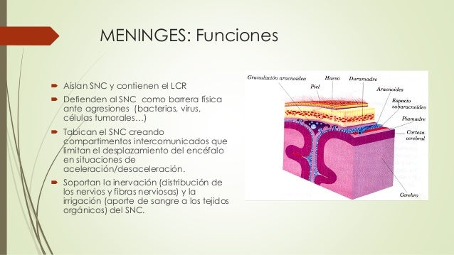 Meninges Lcr Juanvera 18639459