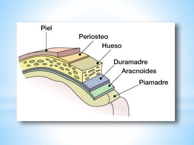 Meninges, sistema ventricular e irrigación encefálica tarea Slide 3