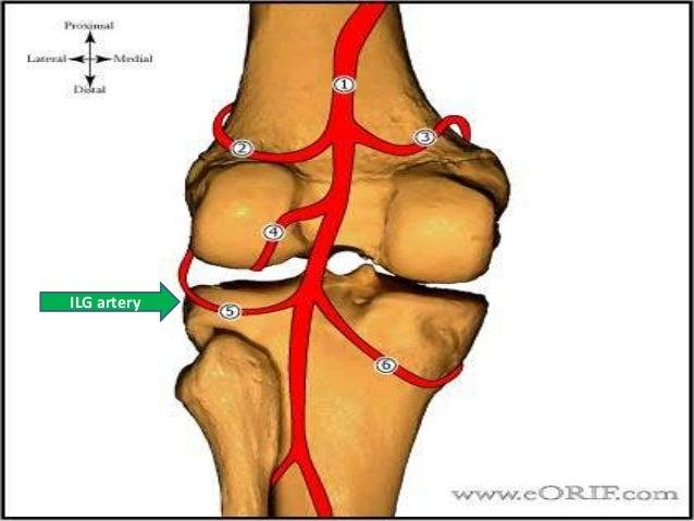 Meniscal injury anatomy ilg artery ccuart Images