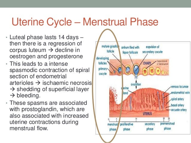 a description of the endometrium in the ovarian cycle Understanding how sex hormones create the menstrual cycle is extremely  the  initial thickening of the uterine lining, changes in cervical fluid (cervical mucus)  that  description of each of the sex hormones, let's delve into the menstrual  cycle.