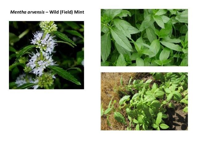 Mentha arvensis – Wild (Field) Mint